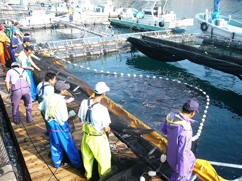 懸念される真鯛の未来